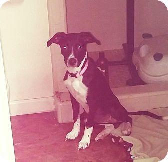 Labrador Retriever Mix Puppy for adoption in Mesa, Arizona - PENELOPE 3  YR LAB ADOPT NOW