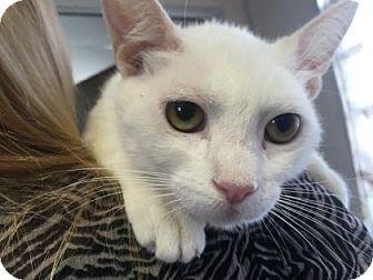 Domestic Shorthair Cat for adoption in Visalia, California - Ivory