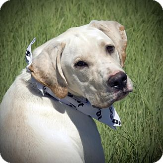 Labrador Retriever Mix Puppy for adoption in Austin, Texas - Sammy