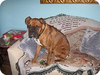 Boxer Dog for adoption in Brentwood, Tennessee - zCL: Beau