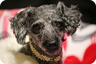 Poodle (Toy or Tea Cup) Mix Dog for adoption in Yadkinville, North Carolina - Candy