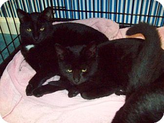 Domestic Shorthair Kitten for adoption in Green Cove Springs, Florida - Bianca