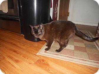 Burmese Cat for adoption in Akron, Ohio - Fagan