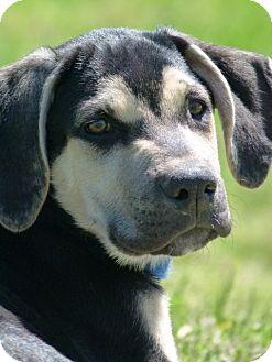 Mastiff/Rhodesian Ridgeback Mix Puppy for adoption in Waterbury, Connecticut - FRANK AND FAE