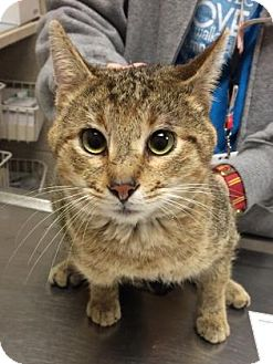 Abyssinian Cat for adoption in Parma, Ohio - Sammie