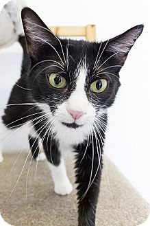 Domestic Shorthair Cat for adoption in Baltimore, Maryland - Tuxie