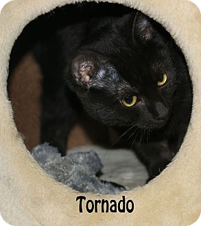 Domestic Mediumhair Kitten for adoption in Idaho Falls, Idaho - Tornado