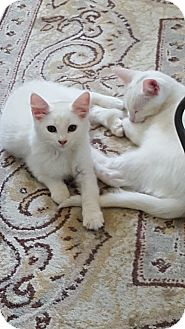 Domestic Mediumhair Kitten for adoption in Warren, Michigan - Jerry (bonded with Kramer)