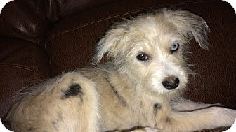 Terrier (Unknown Type, Small)/Australian Shepherd Mix Puppy for adoption in Kittery, Maine - Pippy