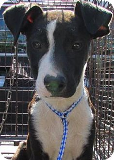 Australian Shepherd Mix Puppy for adoption in Laingsburg, Michigan - Greg
