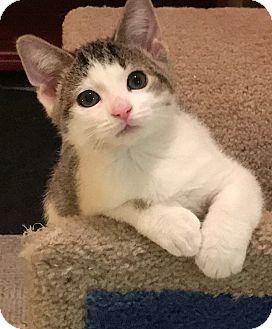 Domestic Shorthair Kitten for adoption in Owatonna, Minnesota - Leonardo da Vinci