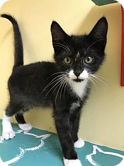 Domestic Shorthair Kitten for adoption in Maryville, Missouri - Bagote
