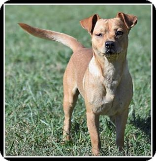 Terrier (Unknown Type, Small) Mix Dog for adoption in Indian Trail, North Carolina - Scout