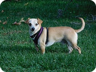 Chihuahua/Dachshund Mix Dog for adoption in San Diego, California - Charlie