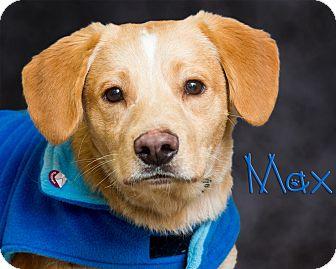 Labrador Retriever Mix Dog for adoption in Somerset, Pennsylvania - Max