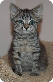Domestic Shorthair Kitten for adoption in Livonia, Michigan - C27 Litter-Tiny Tim-ADOPTED