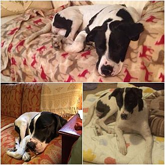 Labrador Retriever Mix Dog for adoption in Hicksville, New York - Milton
