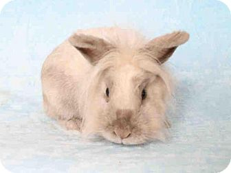 Lionhead Mix for adoption in Los Angeles, California - Cameron