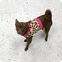 Adopt A Pet :: Mocha - Shawnee Mission, KS