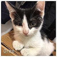 Adopt A Pet :: Oreo and Kod kod kitties - Westerly, RI