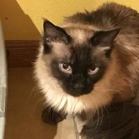 Adopt A Pet :: Chai - Denver, CO