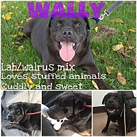 Adopt A Pet :: Wally - Colmar, PA