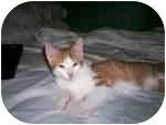American Shorthair Cat for adoption in Plaquemine, Louisiana - Anson