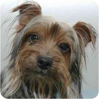 Yorkie, Yorkshire Terrier Dog for adoption in Westfield, New York - Throckmorton