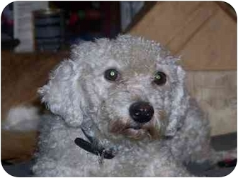 Bichon Frise Dog for adoption in Crown Point, Indiana - Christine