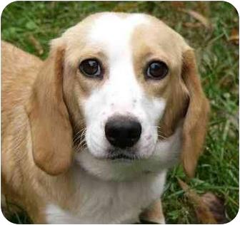 Basset Hound/Beagle Mix Dog for adoption in Mocksville, North Carolina - Charity