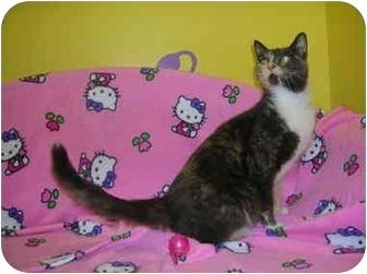 Domestic Shorthair Cat for adoption in HARRISONVILLE, Missouri - Rain