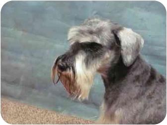 Standard Schnauzer Mix Dog for adoption in Junction City, Kansas - Little Sarge