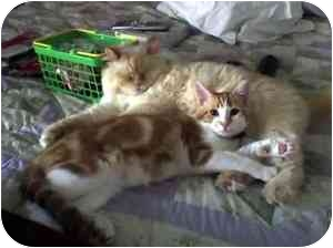 Himalayan Cat for adoption in Fernandina Beach, Florida - Patrick and Sammy