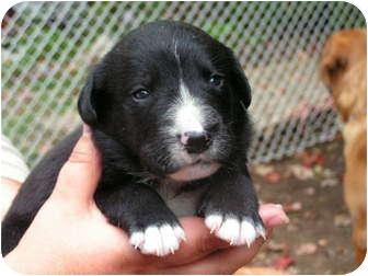 Labrador Retriever Mix Puppy for adoption in Rigaud, Quebec - T.J.