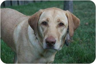 Labrador Retriever Dog for adoption in Lewisville, Indiana - Chloe