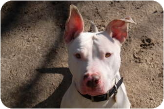 Bull Terrier Mix Dog for adoption in Medford, Massachusetts - Opal