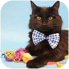 Domestic Mediumhair Cat for adoption in Denver, Colorado - Shadow
