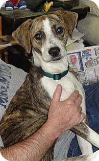 Greyhound/Beagle Mix Dog for adoption in Jersey City, New Jersey - JOAN CUSACK