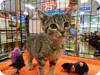 Domestic Shorthair Kitten for adoption in The Colony, Texas - Tacoma