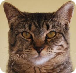 Domestic Shorthair Cat for adoption in Prescott, Arizona - Issadora (Izzy)