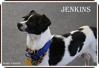 Chihuahua/Jack Russell Terrier Mix Dog for adoption in Rockwall, Texas - Jenkins