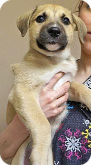 Shepherd (Unknown Type)/Retriever (Unknown Type) Mix Puppy for adoption in Wichita, Kansas - Shocker