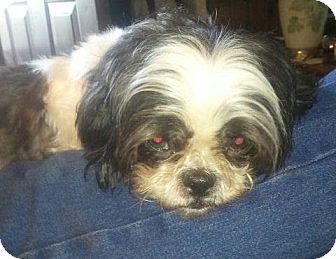 Shih Tzu Dog for adoption in Liberty Center, Ohio - LuLu