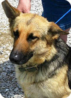German Shepherd Dog Dog for adoption in Oswego, Illinois - Summer