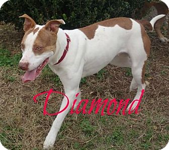 American Pit Bull Terrier Mix Dog for adoption in Shady Point, Oklahoma - Diamond