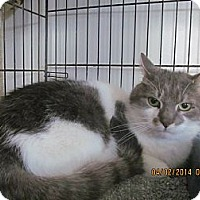 Domestic Shorthair Cat for adoption in Corinth, New York - Basil