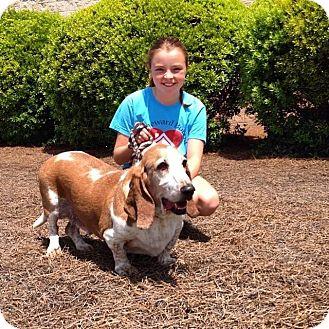 Basset Hound Dog for adoption in Irmo, South Carolina - Bentley