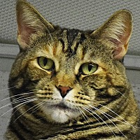 Domestic Shorthair Cat for adoption in Huntley, Illinois - Tiger