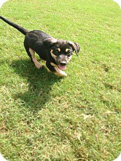 Cattle Dog/Basset Hound Mix Puppy for adoption in Byhalia, Mississippi - Fritz