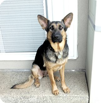 German Shepherd Dog Dog for adoption in Sacramento, California - Porsche